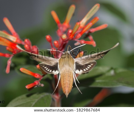 Tersa Sphinx Moth (Xylophanes tersa) from behind with wings extended and legs out while flying on firebush plant in Florida