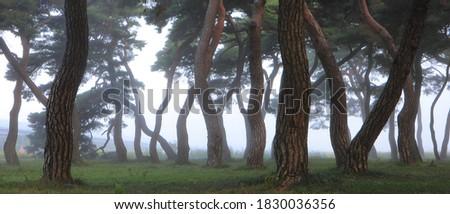 KOREA PINE TREE IN SANGJU Royalty-Free Stock Photo #1830036356