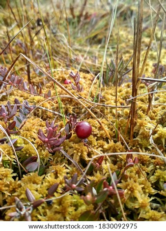 Wild cranberries in the moss. Red berries in the swamp.