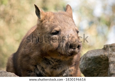 the hairy nosed wombat walks on 4 legs and has sharp claws