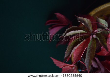 Burgundy leaves of wild grapes on a dark background of malachite color. Maroon, ruby burgundy, red burgundy, bright burgundy. September. Autumn #1830235640