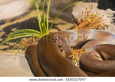 The beautiful pattern olive python