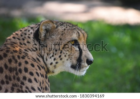 Close up profile portrait of cheetah (Acinonyx jubatus) looking away over green background, low angle, side view