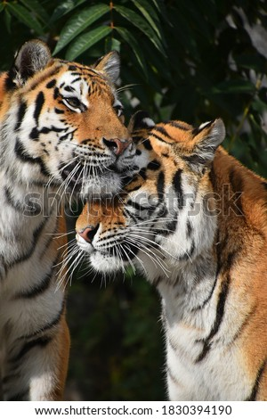 Close up front portrait of two young female Amur (Siberian) tigers looking at camera over green forest background, low angle view Royalty-Free Stock Photo #1830394190