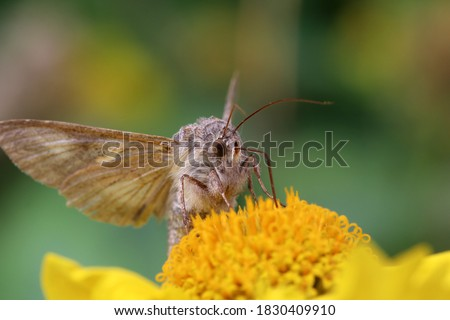 Death's-head hawkmoth (Adhemarius sexoculata) on yellow flower. Family Sphingidae