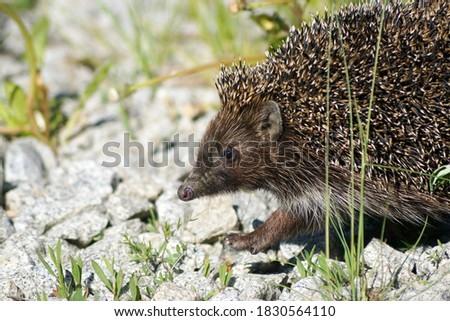 Picture of a hedgehog in the wild nature