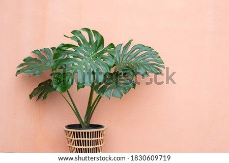 Giant Monstera (Philodendron Monstera) in rattan basket with pink background Royalty-Free Stock Photo #1830609719