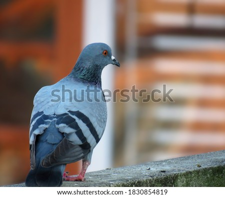 pigeon on the wall, great details of a pigeon bird. pigeon Feather.                               #1830854819