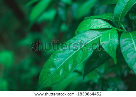 Leaves in rain. Wet in water. Beautiful Home Decor Plant drenched in rain. Green leaves background design images. Pictures of nature beauty. rainy day monsoon season pictures for wallpaper decoration.