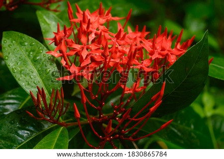 Red flower rain. Wet in water. Ixora Red tiny Flower Plant drenched in rain - Beautiful Home Decor Plant. Flower background design images. Rainy day monsoon season pictures of nature beauty. Close Up.