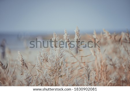 Dry reed on the sea, reed layer, reed seeds. Golden reed grass in the fall in the sun. Abstract natural background. Beautiful pattern with neutral colors. Minimal, stylish, trend concept. Royalty-Free Stock Photo #1830902081