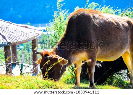 Cow grazing grass on the Moutains of Banihal Jammu & Kashmir,the picture is taken on 8 October 2020.