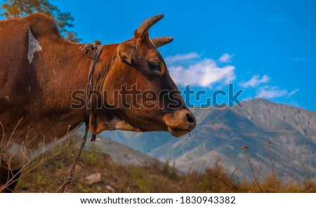Portrait of a cow on the Moutains of Banihal Jammu & Kashmir,the picture is taken on 8 October 2020.