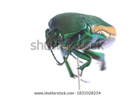 Scarab Beetle. Macro Close Up view of the  Cotinis mutabilis, AKA, Fig Eater Beetle and the Green Fruit Beetle. Isolated on white. Its habitat is primarily the southwestern United States and Mexico. #1831028254
