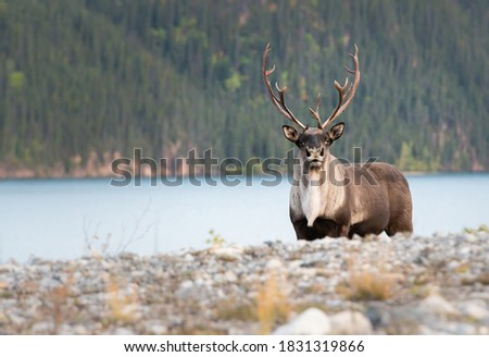 Mountain caribou in the wild Royalty-Free Stock Photo #1831319866