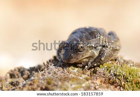 Common Spadefoot - Pelobates fuscus #183157859