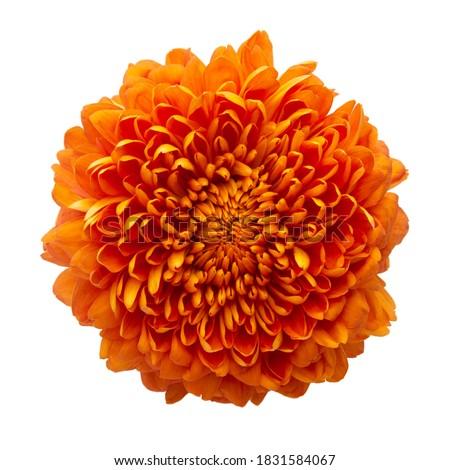 Cempasuchil orange flower on white background. Mexican flower Royalty-Free Stock Photo #1831584067