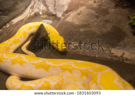 The pattern reticulated python (albino)