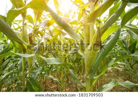 Beautiful morning sunrise over the corn field. A selective focus picture of corn cob in organic corn field.