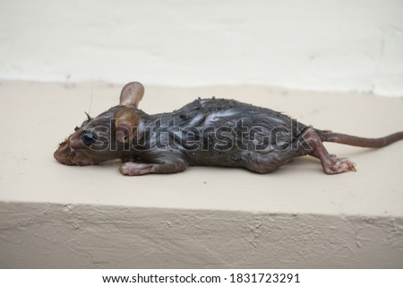 Dead and wet house rat. The house rat (Rattus rattus) is a common rodent that is easily found in homes with a long tail and is good at climbing and jumping.