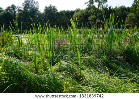 Lush green grasses grow in marshland, swamp and forest in the background