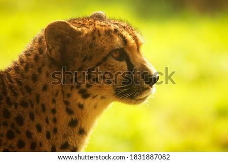 A side on pictures of a cheetah's face isolated against a green grassy background