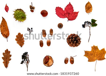 Autumn composition. Pattern made of dried leaves, branches, pine cones, berries, chestnuts and acorns isolated on white background. Template mockup fall, halloween. Flat lay, copy space background Royalty-Free Stock Photo #1831937260