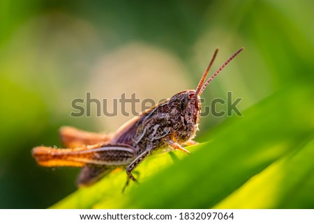 Close-up macro Locust (Stenobothrus eurasius) picture taken in the grass