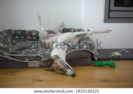 Fast asleep, this large pet greyhound dog assumes an unusual position, with back legs in the air, front legs crossed, nose on the floor. Comfy dog bed Royalty-Free Stock Photo #1832120125