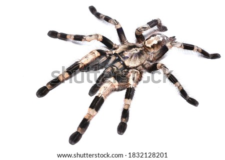 Closeup picture of adult female of Bengal ornamental tarantula Poecilotheria miranda (Araneae: Theraphosidae), a common pet spider from India, photographed on white background.