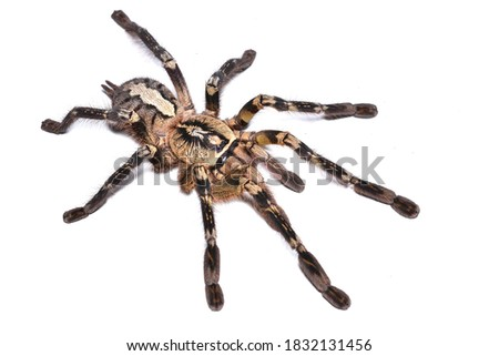 Closeup picture of fringed ornamental tarantula or ornate tiger spider Poecilotheria ornata (Araneae: Theraphosidae), a common pet spider from Sri Lanka, photographed on white background.