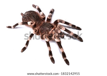 Closeup picture of juvenile female of Brazilian whiteknee tarantula Acanthoscurria geniculata (Araneae: Theraphosidae), a common pet spider from Brazil, photographed on white background.