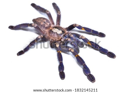 Closeup picture of the blue Gooty sapphire ornamental tarantula Poecilotheria metallica (Araneae; Theraphosidae), a common pet spider from India photographed on white background.