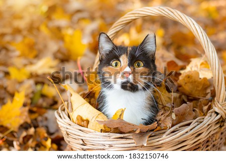 Cat in the basket. Cat sitting in a basket and autumn leaves . A young colored cat. Autumn leave. Cat in the basket. Walking a pet. Article about cats and autumn. Yellow fallen leaves. Photos for Royalty-Free Stock Photo #1832150746