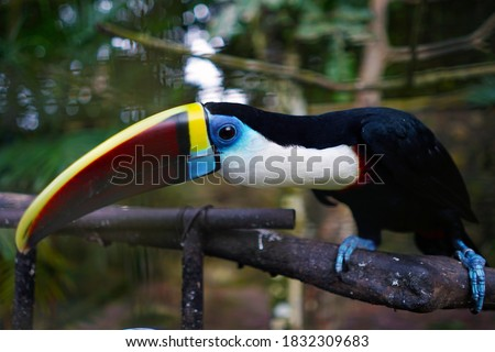 The white-throated Toucan (Ramphastos toucan) is a large-beaked bird that lives in the tropics. Toucan live in tropical forests