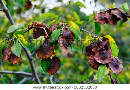 Brown fruits of paliurus spina -christi also called Jerusalem thorn or garland thorn , dry woody fruit with circular wing  #1832332858