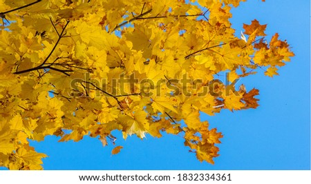 Autumn landscape of photography, Maple tree or shrub with lobed leaves, winged fruits, and colorful autumn foliage, grown as an ornamental or for its timber or syrupy sap. #1832334361