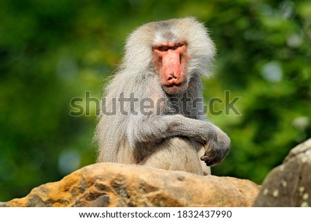 Hamadryas baboon, Papio hamadryas, from Etiopia in Africa. Wild mammal in the nature habitat.