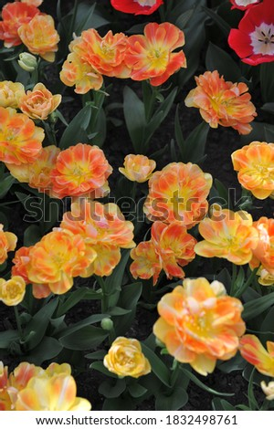 Orange-yellow multi-flowered Double Late tulips (Tulipa) Charming Beauty bloom in a garden in April 2016  Royalty-Free Stock Photo #1832498761