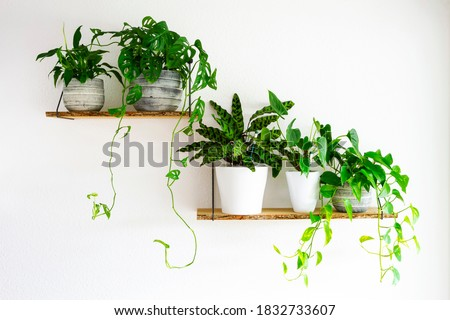 Peace Lilies, Monstera, Calathea, Golden Pothos houseplants in gray and white ceramic flowerpots on wooden shelves hanging on a white wall. Houseplants for healthy indoor climate and interior design. Royalty-Free Stock Photo #1832733607