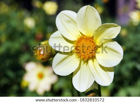 Flowers Dahlia Minion - Dahlia Pinnata close-up very delicate and beautiful