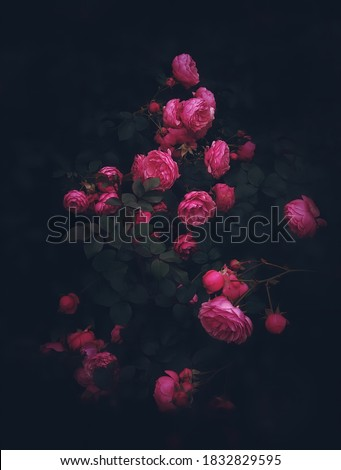 Beautiful roses on dark background. Rosa Damascena or Damask rose. Lush bush of pink roses with dark vignette. Romantic luxury background or wallpaper.Rosa Damascena  Royalty-Free Stock Photo #1832829595