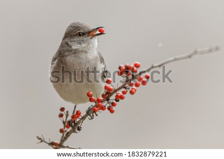 Northern Mockingbird with red berry in beak.