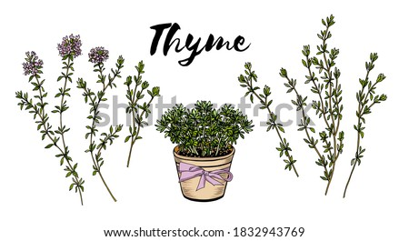Thyme sprigs and leaves hand drawn culinary herbs and spices. Thyme pot colorful sketch vector illustration #1832943769
