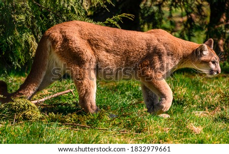 Beautiful orange mountain lion walking through the grass and trees. Contrasting green background. Close up puma picture. Grass, leaves and branches on the ground