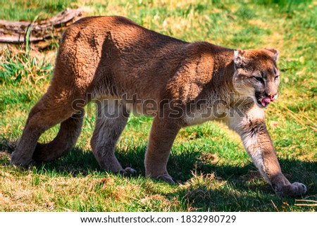 Beautiful orange mountain lion walking through the grass and trees. Contrasting green background. Close up puma picture, as the cat licks its nose. Grass, leaves and branches on the ground