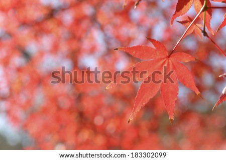 Red maple leaf in park at Japan. #183302099