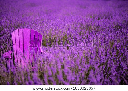 Adirondack Chair Surrounded by Lavender Fields - Lavender by the Bay Long Island Royalty-Free Stock Photo #1833023857