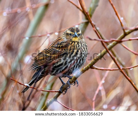 Cute female, red winged blackbird sitting on a branch in the snowfall.  Spotted brown and yellow feathers. Winter picture with snowflakes.
