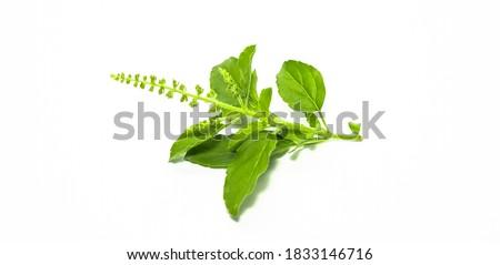Green Holy Basil, Ocimum sanctum. Sweet Basil, Thai Basil on white background. Ocimum basilicum Linn. Royalty-Free Stock Photo #1833146716